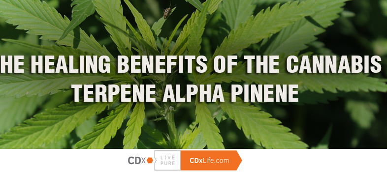 The Healing Benefits of the Cannabis Terpene Alpha Pinene